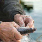 Manos de pescador trabajando con pescado