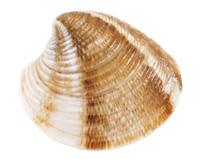 Ejemplo de moluscos bivalvos: chirla
